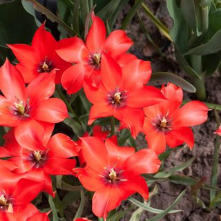 Tulipa linifolia - bokharatulpan