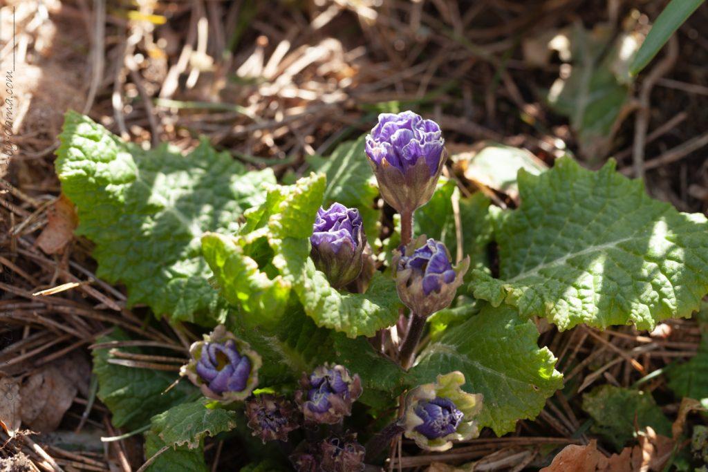 Primula vulgaris en fylld blå sort