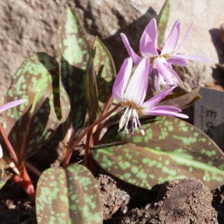 Trädgårdsbalsam - Erythronium dens-canis 'Moerheimii' - hundtandslilja