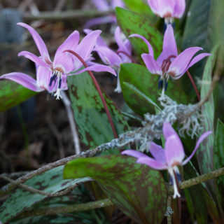 Erythronium dens-canis 'Purple King', hundtandslilja