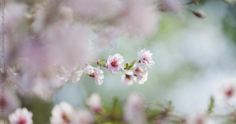 Körsbärsträden börjar blomma över