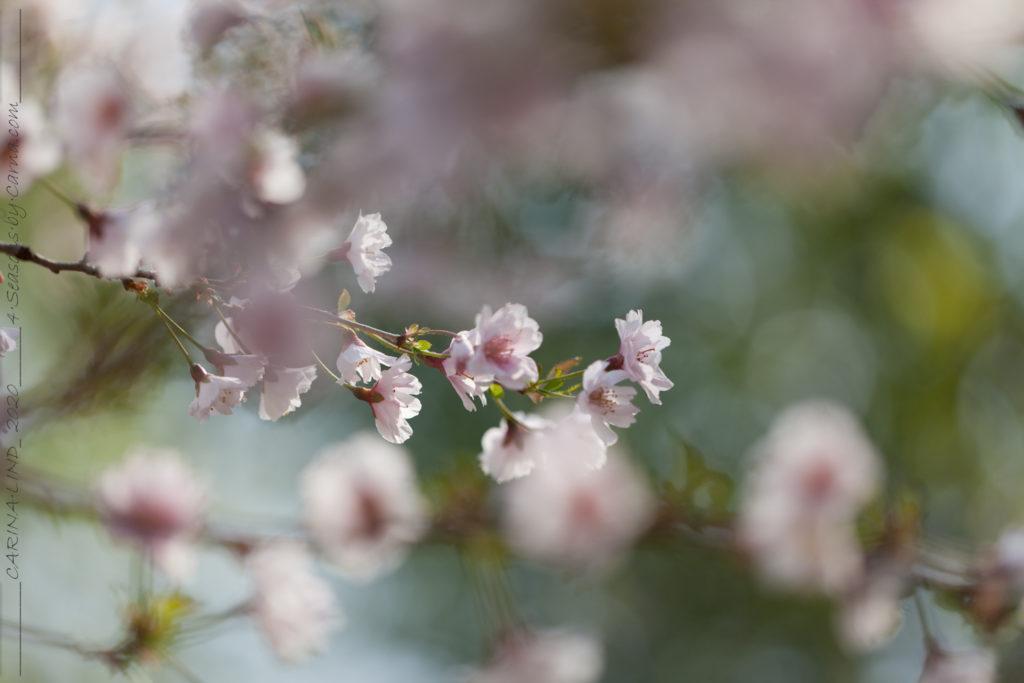 Körsbärsträden - Prunus 'Hally Jolivette'