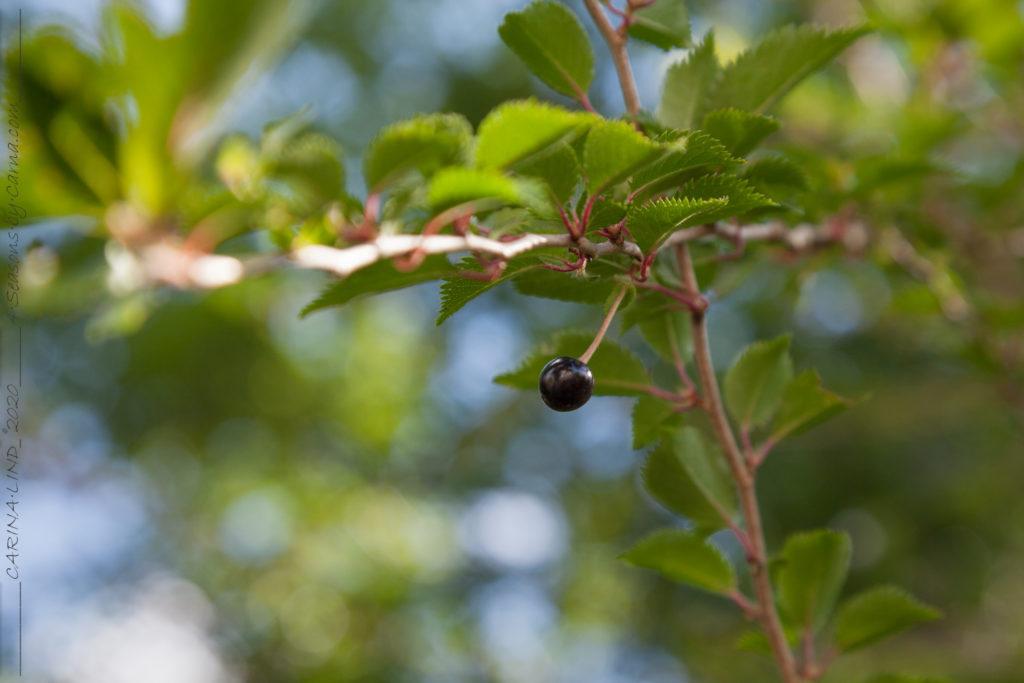 Prunus x subhirtella 'Hally Jolivette med frukt