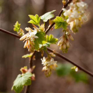 Q-R-S-T - Ribes sanguineum 'White Icicle' - rosenrips