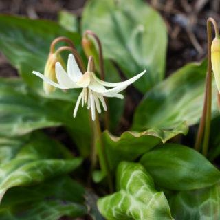 Favorisering - Erythronium californicum 'White Beauty'
