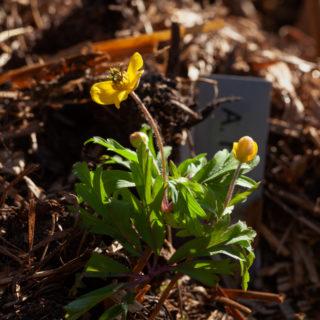 Anemone ranunculoides 'Golden Dream'