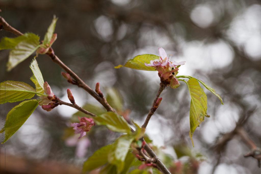 Körsbärsträden - Prunus sargentii?, bergkörsbär