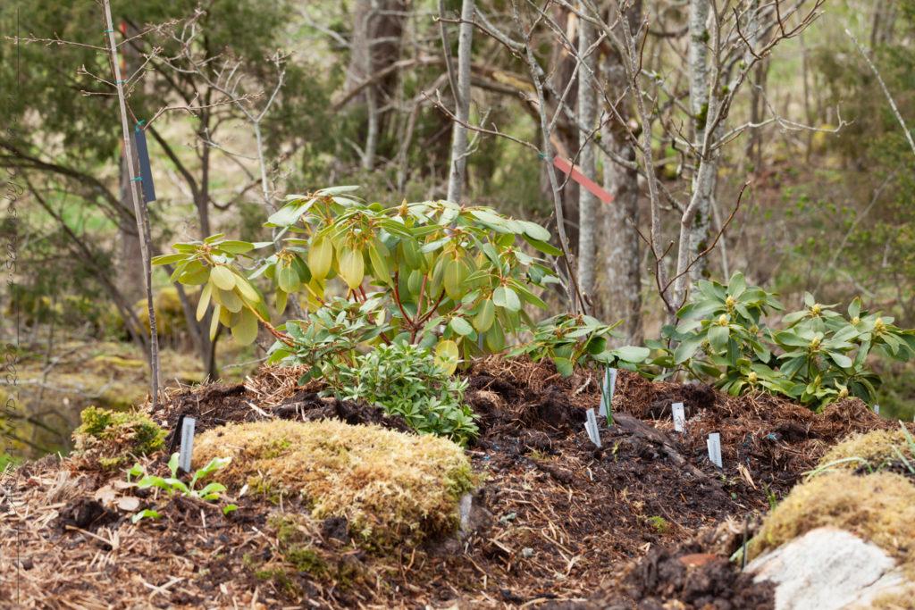 Norra sluttningen - rhododendron