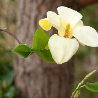 Vackra magnolior - Magnolia 'Golden Sun'