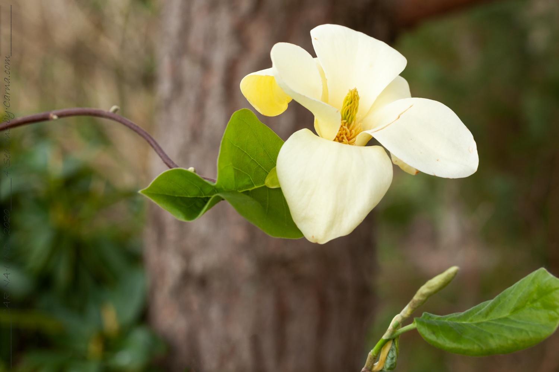 Vackra magnolior – Gyllene sol och doftande 'Lina'