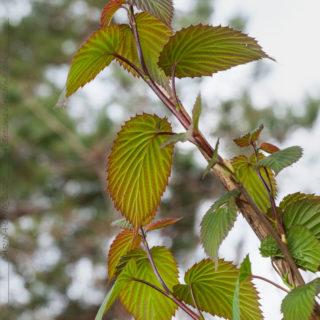 Davidia involucrata 'Wilmoriana' - näsduksträd
