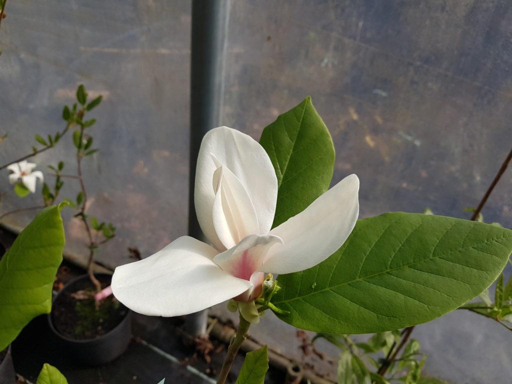 Vackra magnolior - Magnolia Lina