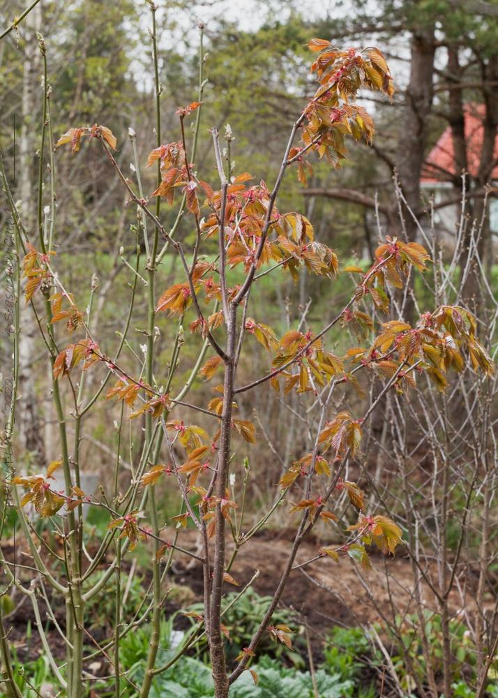 Körsbärsträden - körsbärsträd i bladustpring