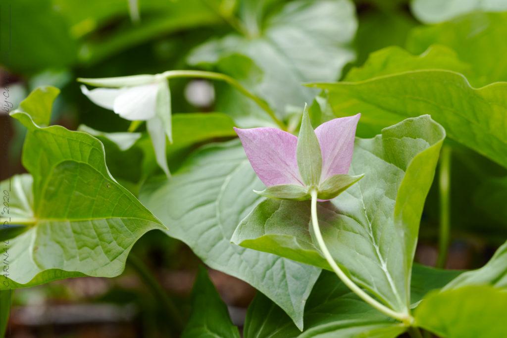 Treblad - Trillium pink seedling