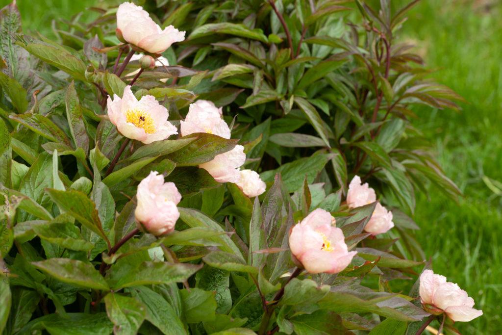 Oldies, Paeonia 'Mai Fleuri' - pion