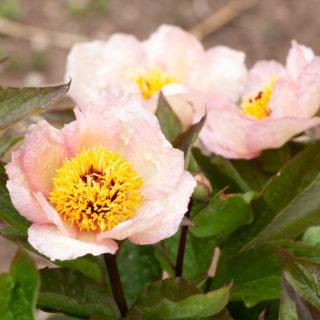 Trädgårdstrött, Oldies - Paeonia 'Mai Fleuri' - pion