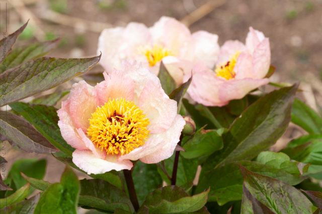 Oldies - Paeonia 'Mai Fleuri' - pion