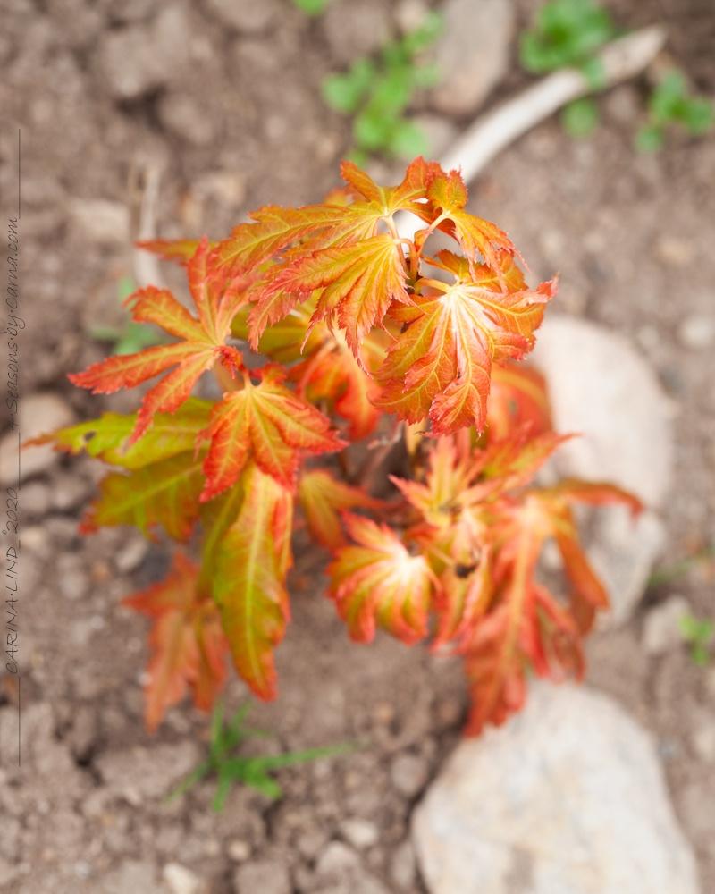 Acer seedling - frösådd lönn