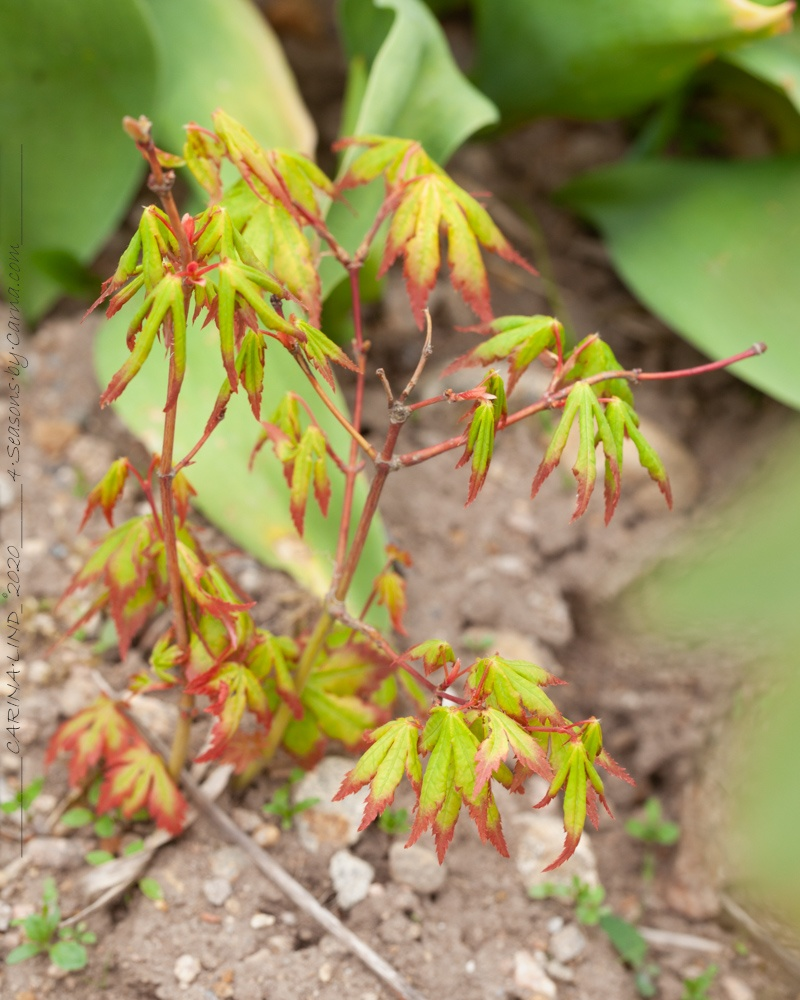 Nyanser - Acer seedling - frösådd lönn