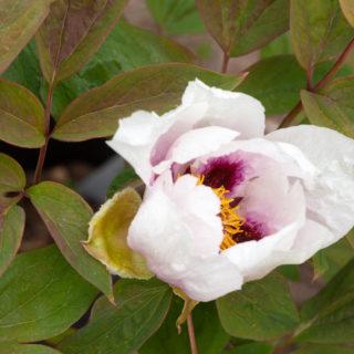 Buskpion - Paeonia suffruticosa