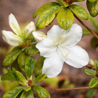 Rhododendron 'Schneewittchen'