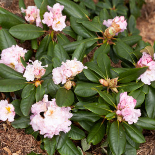 Rhododendron 'Janet Blair'
