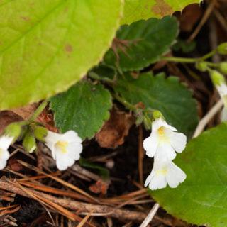 Haberlea rhodopensis 'Virginalis'