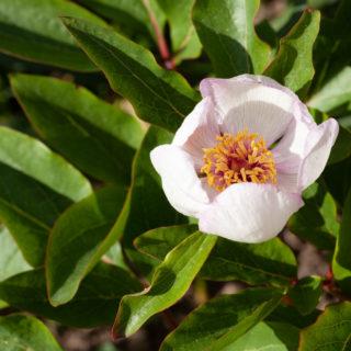 Paeonia 'Picotee'