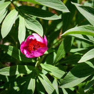 Paeonia officinalis - bergpion
