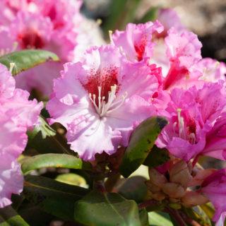 Rhododendron 'Bohlken's Kronjuwel'