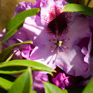 Rhododendron 'Pfauenauge'