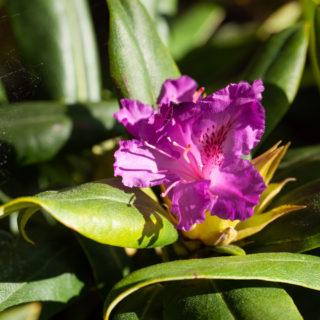 Rhododendron 'Mogambo'