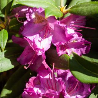 Rhododendron yakushimanum-grp 'Bohlken's Lupinenberg'