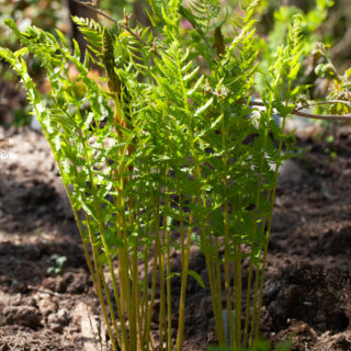 Osmunda cinnamomea - kanelsafsa