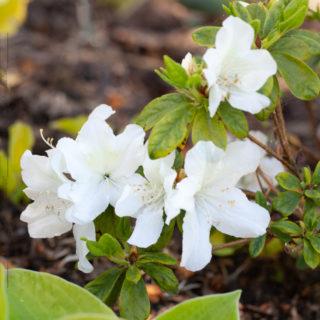 Rhododendron 'Schneespiegel'