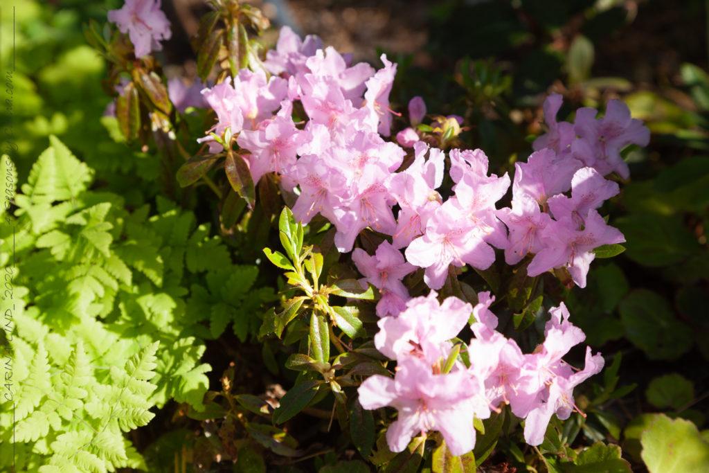 Alltid-växterna - Rhododendron calostrotum 'Robert Seleger'