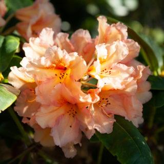 Rhododendron Dichroanthum-grp 'Norfolk Candy'