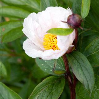 Paeonia 'Garden Peace' - hybridpioner