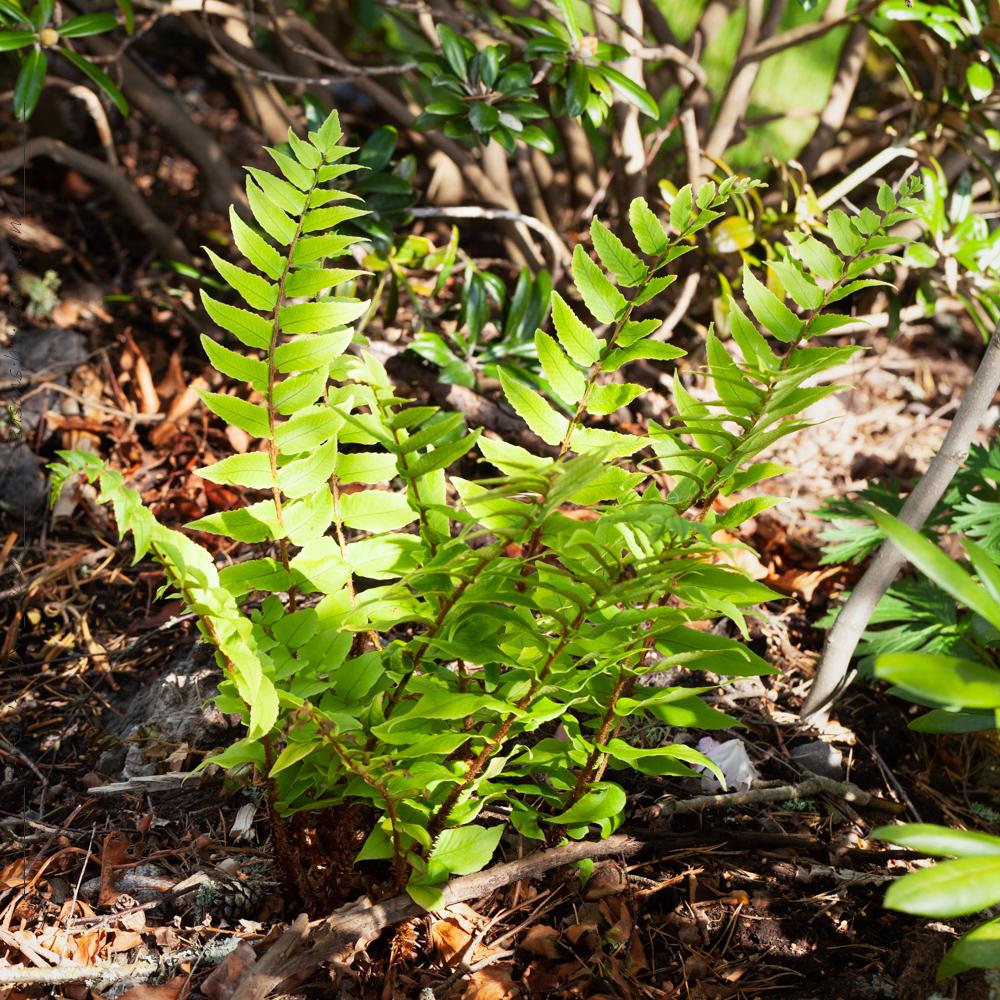 ormbunkarna - Cyrtomium fortunei v. clivicola - japansk mahoniabräken