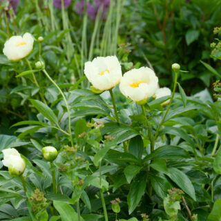Paeonia Quad Yellow