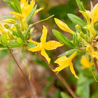 Rhododendron luteum - guldazalea