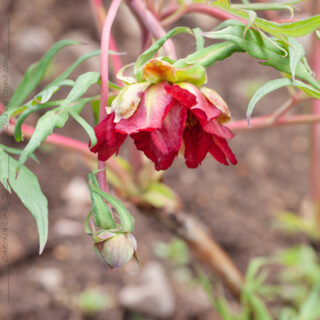 Terminen - Paeonia delavayi redflowered group