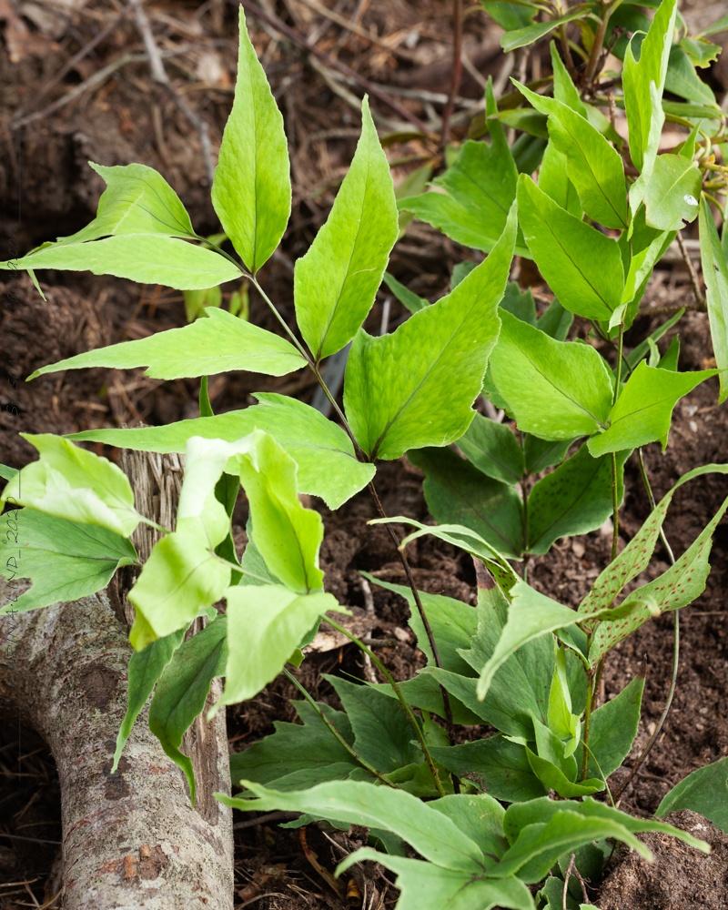 Cyrtomium macrophyllum v. tukusicola