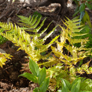 Dryopteris purpurella