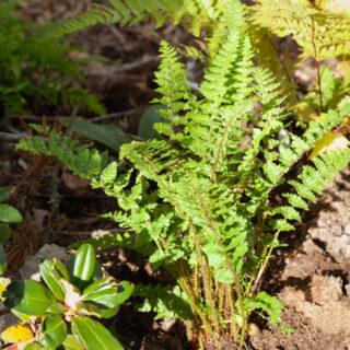 Dryopteris affinis 'Pinderi'