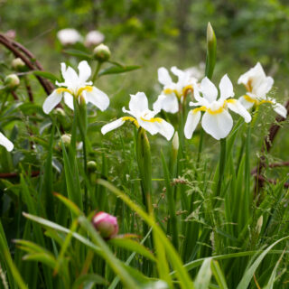 Iris sanguinea 'Alba' - violiris