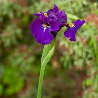 Iris 'Sibtosa Wave'