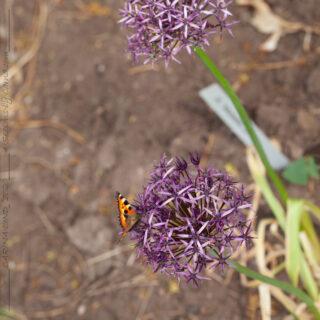 Allium Metallic Shine'