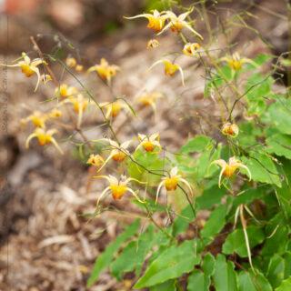 Epimedium 'Amber Queen' - sockblomma