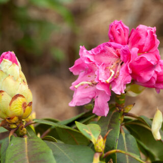 Rhododendron 'Rosa Traum'
